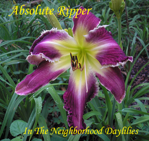 Absolute Ripper (Hansen, D.,  2010)-Daylily;Day Lilly;Daylilies;CLICK ON IMAGE TO ENLARGE;Daylily Absolute Ripper;Dan Hansen 2010 Daylily;Purple w' Yellow Throat & White Shark's Teeth On All Edges;Reblooming Daylilies;Perennial