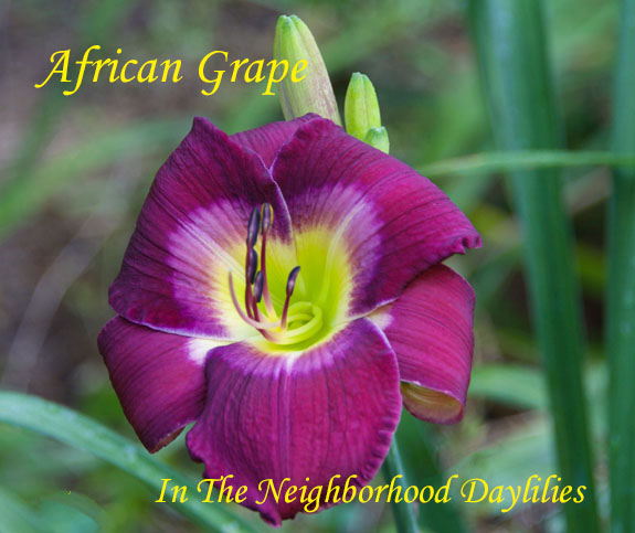 African Grape  (Munson, R.W.,  1991)-Daylily Day Lily Daylilies;CLICK ON IMAGE TO ENLARGE;African Grape Daylily;R.W.Munson 1991 Daylily;Award Winning Daylily;Claret Burgundy w' Chalky Eye Zone Above Yellow Green Throat Daylily;Reblooming Daylilies;Perennials