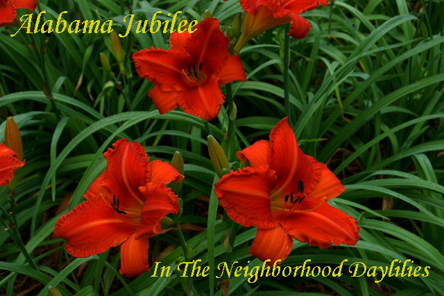 Alabama Jubilee  (Webster, 1988)-CLICK PICTURE;Alabama Jubilee Daylily, Webster Daylily,Florescent Orange Daylily,Fragrant Daylily,Affordable Daylilies,Midseason Daylily,Award Winning Daylily