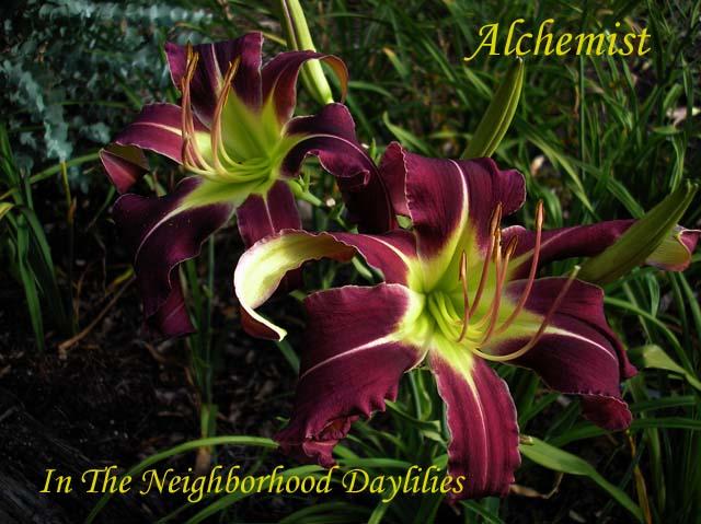 Alchemist  (Murphy, 2006)-Daylily;Day Lilly;Daylilies;CLICK IMAGE TO ENLARGE;;Alchemist Daylily;Murphy 2006 Daylily;Late Season Daylily;Dormant Unusual Form Daylily;Purple with White Midribs Daylily;Perennial