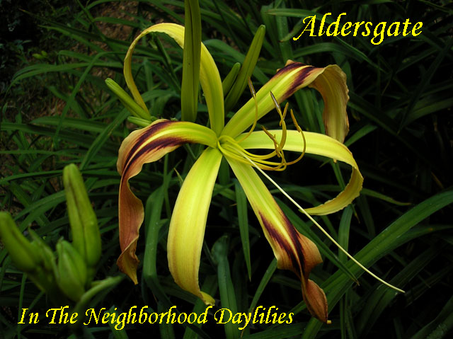 Aldersgate  (Temple,  2005)-Daylily;Daylilies;Day Lily;Daylillies;Daylily Aldersgate;2005 Temple Daylily;Maroon Green w'Maroon Pink Eye Above Green Throat Daylily;Reblooming Daylilies;Spider Daylily