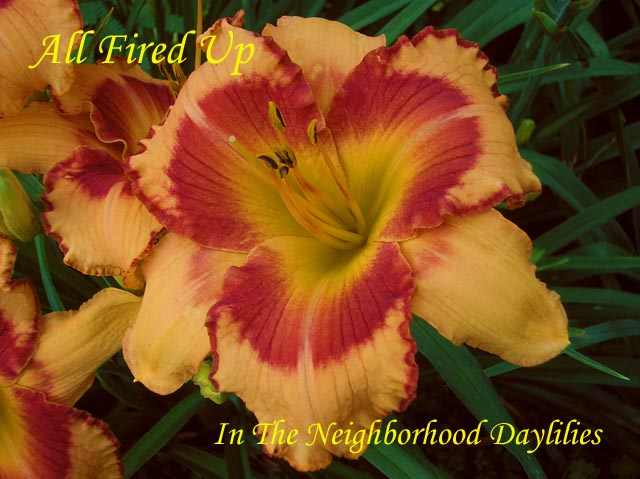 All Fired Up  (Stamile, 1996)-CLICK PICTURE;All Fired Up Daylily,Stamile Daylily,Early Season Daylily,Reblooming Daylily,Orange with Red Eye & Edge Daylily,Affordable Daylilies,Award Winning Daylily