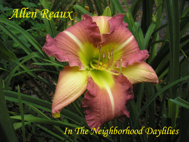 Allen Reaux  (Monette,  '81)-Daylily;Day Lilly;Daylilies;Daylilies For Sale;CLICK ON IMAGE TO ENLARGE;Daylily Allen Reaux;Monette 1981 Daylily;Sherry Blend w'Lighter Sepals & White Midribs w' Green Throat Daylily;Reblooming Daylilies;Perennial