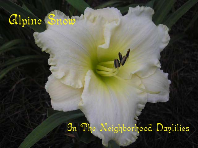 Alpine Snow (Stamile, 1994)-CLICK PICTURE;Daylily Alpine Snow;Stamile Daylily;Near White Self Daylily;Daylily Picture;Perennials;Award Winning Daylily;Affordable Daylilies;Fragrant Daylilies;Midseason Daylily;Reblooming Daylilies