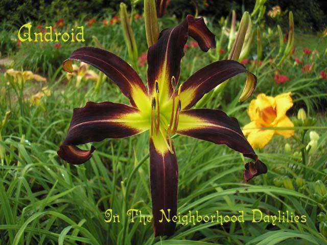 Android  (Burkey, 1996)-Daylily;Day Lily;Daylilies;CLICK IMAGE TO ENLARGE;Android Daylily,Burkey 1996 Daylily,Spider Daylily,Burgundy Purple & Darker Eyed Daylily,Midseason Daylily,Award Winning Daylily