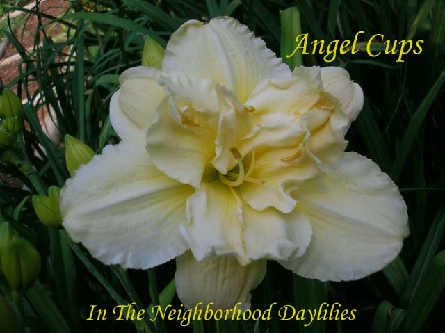 Angel Cups  (Joiner, J., 1996)-Daylily;Day Lilly;Daylilies;CLICK IMAGE TO ENLARGE;Affordable Daylilies;Angel Cups Daylily;J.Joiner 1996 Daylily;Award Winning Daylily;Double Daylily;Fragrant Daylily;Ivory White Daylily;Mid to Late Season Daylily;Dormant Daylily;Diploid Daylily