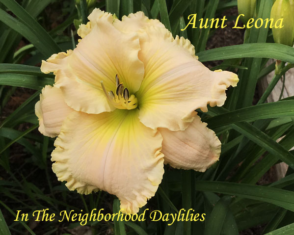 Aunt Leona  (Smith, FR.,  2006)-Daylily;Daylilies;Daylillies;CLICK ON IMAGE TO ENLARGE;Daylily Aunt Leona;2006 Frank Smith Daylily;Soft Pastel Coral w'Ruffled Edge Daylily;Reblooming Daylilies;Extended Bloom Time Daylily