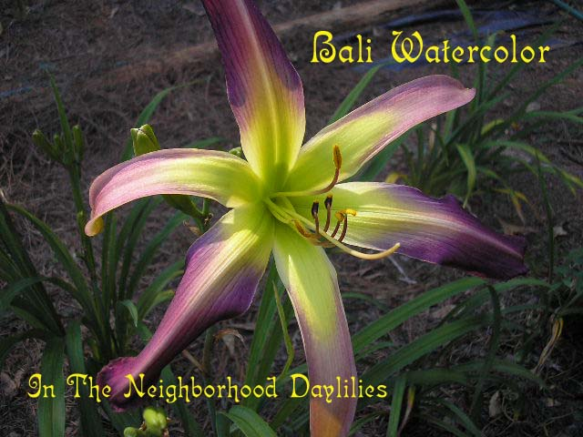 Bali Watercolor (Stamile, 2002)-CLICK PICTURE;Bali Watercolor Daylily;Stamile 2002 Daylily;Lavender w' Silvery Watermark Daylily;Award Winning Daylily; Spider Daylily;2002 Registered Daylily;Fragrant Daylilies;Midseason Daylily;Reblooming Daylily;Tetraploid Daylily;Evergreen Daylily