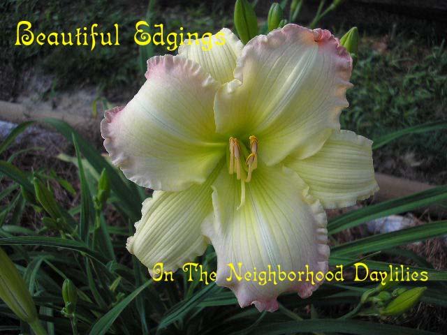 Beautiful Edgings  (Copenhaver, 1989)-CLICK PICTURE;Daylily Beautiful Edgings;Copenhaver Daylily;Cream w' Rose Edge Daylily;Award Winning Daylily;Midseason Daylily; Reblooming Daylilies;Affordable Daylilies;Fragrant Daylilies;Diploid Daylily;Semi-evergreen Daylily