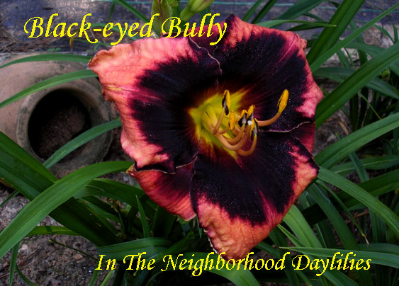 Black Eyed Bully   (Miner,  2006)-CLICK PICTURE;Daylily, Daylilies; Black Eyed Bully Daylily;Miner 2006 Daylily;Reblooming Daylilies;Deep Rose w'Jet Black Eye & Edge Daylily;Early Season Blooming Daylily
