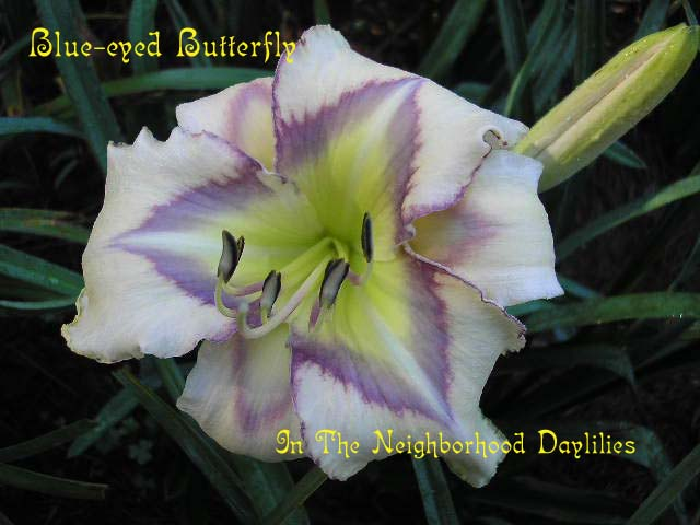 Blue-eyed Butterfly (Lambertson, 1996)-Daylily;Daylilies;CLICK ON IMAGE TO ENLARGE;Daylily Blue-eyed Butterfly;Lambertson Daylily;Near White w' Medium Blue Eye;Award Winning Daylily;Early Midseason Daylily;Tetraploid Daylilies;Semi-evergreen Daylilies;Extended Blooming Time Daylily