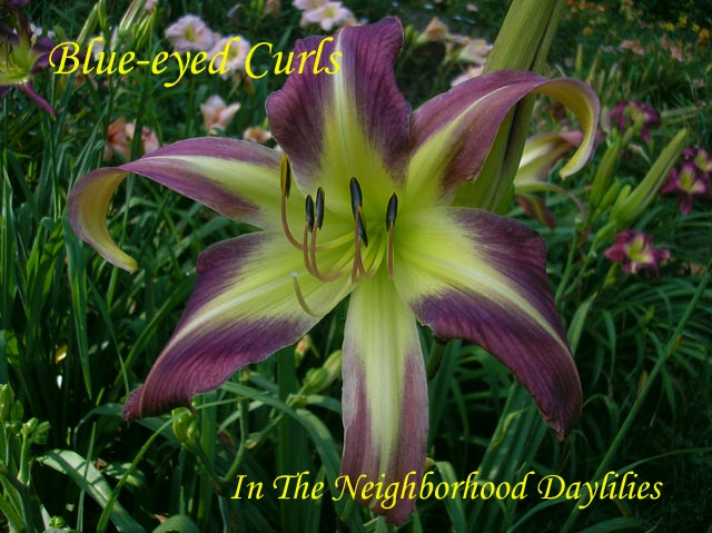 Blue-eyed Curls  (Lambertson,  2000)-CLICK PICTURE;Daylily Blue-eyed Curls;Lambertson Daylily;Purple Bitone & Blue Violet Eye Daylily;Daylily Pictures;Perennials;Unusual Form Daylily;Early Midseason Daylilies;Reblooming Daylilies