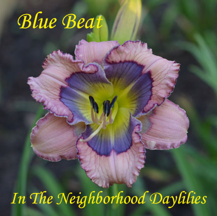Blue Beat  (Stamile,  2008)-Daylily;Day Lily;Daylilies;CLICK ON IMAGE TO ENLARGE;Blue Beat Daylily;Stamile 2008 Daylily;Pink w' Blue Eye Above Green Throat Daylily;Reblooming Daylilies;Very Fragrant Daylilies;Perennials