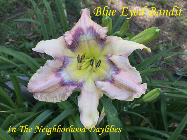 Blue Eyed Bandit  (Hansen, D.,  2006)-Daylily;Day Lily;Daylilies;CLICK ON IMAGE TO ENLARGE;Daylilies For Sale;Blue Eyed Bandit Daylily;D.Hansen 2006 Daylily;Bone Cerise Blue Yellow Self Above Yellow Throat Daylily;Award Winning Daylily;Unusual Form Daylily;Reblooming Daylilies;Perennial
