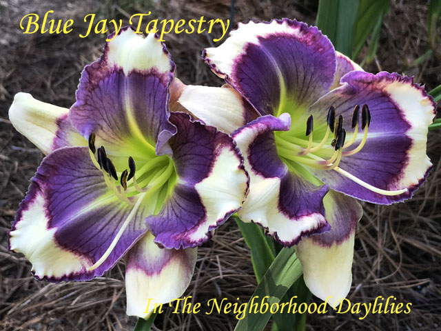 Blue Jay Tapestry  (Pierce, G.,  2013)-Daylily;Daylilies;Day Lilly;CLICK IMAGE TO ENLARGE;Daylily Blue Jay Tapestry:Guy Pierce 2013 Daylily;White Base w' True Blue Eye Edged in Raspberr Above a Green Throat Daylily;Reblooming Daylilies;Fragrant Daylilies;Perennial Daylilies