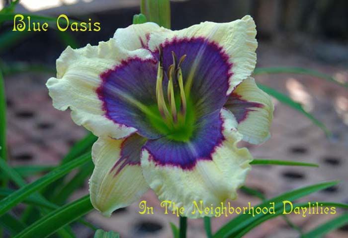 Blue Oasis (Salter, E. H., 2002)-CLICK PICTURE;Daylily Blue Oasis;E.H.Salter Daylily;Award Winning Daylily;Cream White w' Blue Violet Eye Daylily;Diploid Daylily; Reblooming Daylilies;Evergreen Daylily
