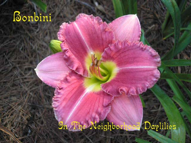 Bonbini (Wedgeworth & Pickles, 1995)-CLICK PICTURE;Daylily Bonbini;Wedgeworth & Pickles Daylily;Rose & Red Bitone w' White Edge & Slightly Darker Red Eye Daylily;Award Winning Daylily;Early to Midseason Daylily;Reblooming Daylilies;Diploid Daylily;Dormant Daylily;Extended Blooming Time Daylily