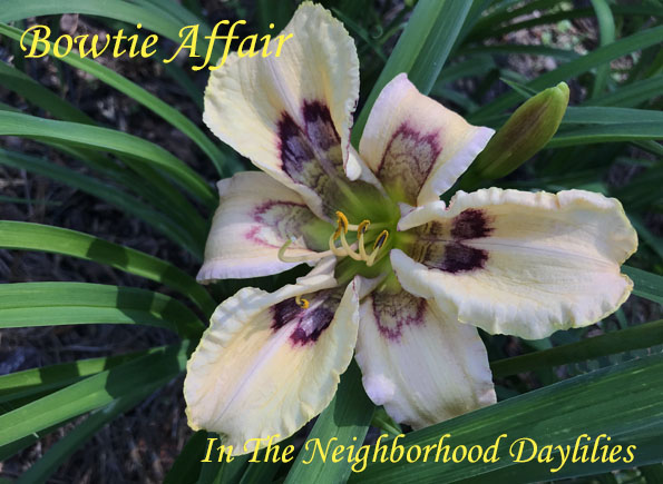 Bowtie Affair (Pierce, G.  2013)-Daylily;Daylilies;Daylillies;CLICK ON IMAGE TO ENLARGE;Daylily Bowtie Affair;G. Pierce 2013 Daylily;Cream w' Cherry, Dark Wine Patterned Applique & Green Throat;Reblooming Daylilies;Fragrant Daylilies;Perennial Daylilies