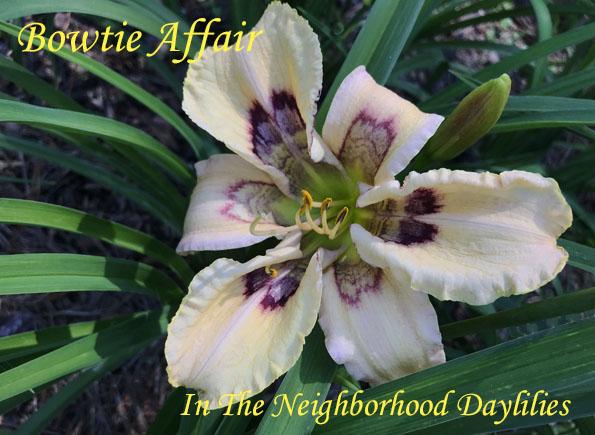 Bowtie Affair (Pierce, G.  2013)-Daylily;Daylilies;Daylillies;CLICK ON IMAGE TO ENLARGE;Daylily Bowtie Affair;G. Pierce 2013 Daylily;Cream w' Cherry, Dark Wine Patterned Applique & Green Throat;Reblooming Daylilies;Fragrant Daylilies;Perennial Daylilies