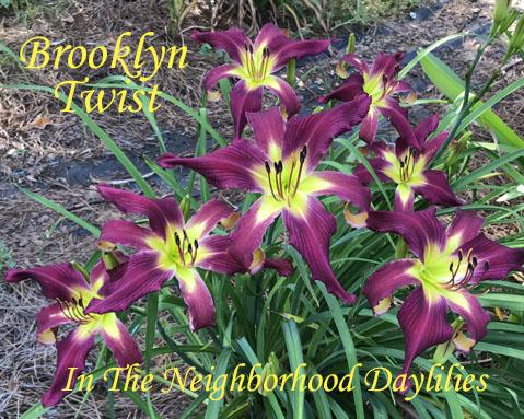 Brooklyn Twist  (Lambertson,  1998)-CLICK PICTURE;Daylily Brooklyn Twist;Lambertson Daylily;Violet w' Red Self Daylily;Spider Daylily;Daylily Picture;Perennials;Award Winning Daylily;Midseason Daylily