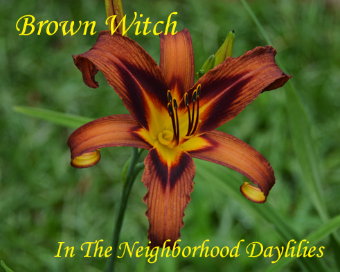 Brown Witch  (Reed, 1999)-CLICK PICTURE;Daylily Brown Witch;Reed Daylily;Brown w' Purple Eye Daylily;Spider Daylily;Award Winning Daylilies;Midseason Daylily;Diploid Daylily;Dormant Daylily