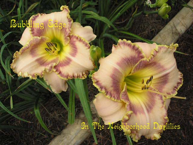 Bubbling Edge (Collins, T., 1996)-CLICK PICTURE;Daylily Bubbling Edge;Collins,T. Daylily;Beige Pink w' Wine Eye Daylily;Award Winning Daylily;Early to Midseason Daylily;Reblooming Daylilies;Fragrant Daylilies;Extended Blooming Time Daylily;Tetraploid Daylily;Semi-evergreen Daylily