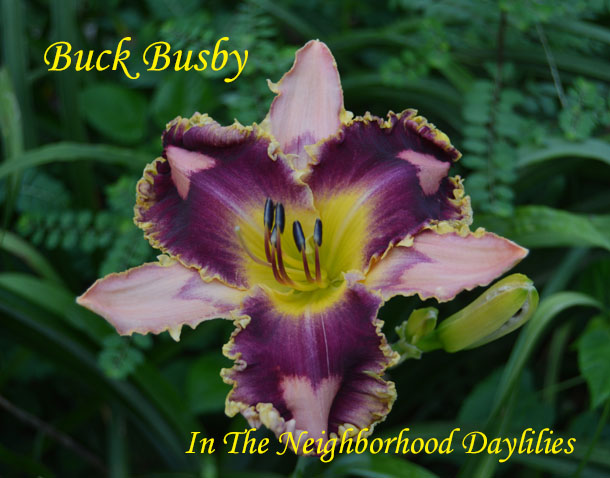 Buck Busby  (Hansen, D.,  2011)-Daylily;Day Lily;Daylilies;CLICK ON IMAGE TO ENLARGE;Daylilies For Sale;Buck Busby Daylily;D.Hansen 2011 Daylily;Peachy Pink w' Large Mahogany Edge & Eye Above Yellow Throat Daylily;Reblooming Daylilies;Perennials