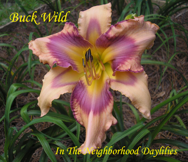 Buck Wild  (Hansen, D.,  2013)-Daylily;Day Lily;Daylilies;CLICK IMAGE TO ENLARGE;Daylily Buck Wild;Dan Hansen 2013 Daylily;Sculpted,Pleated,Coral,Complex Eye Of Cerise Lavender,Purple Veins,Green Throat Daylily;Reblooming Daylilies; Perennial