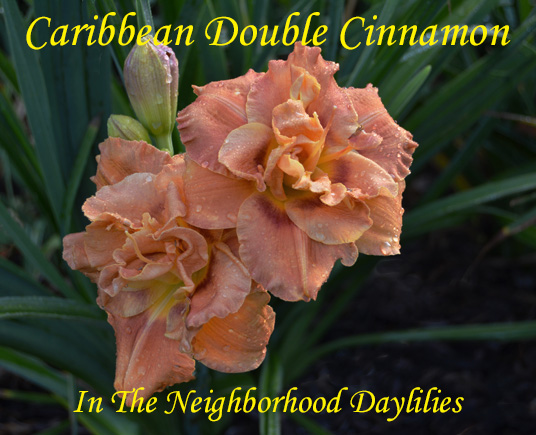 Caribbean Double Cinnamon  (Talbott, 1994)-CLICK PICTURE;Daylily Caribbean Double Cinnamon;Talbott Daylily;Cinnamon w' Rose Cinnamon Eye Daylily;Double Daylily;Early to Midseason Daylily;Fragrant Daylilies;Extended Blooming Time Daylilies;Diploid Daylily;Evergreen Daylily