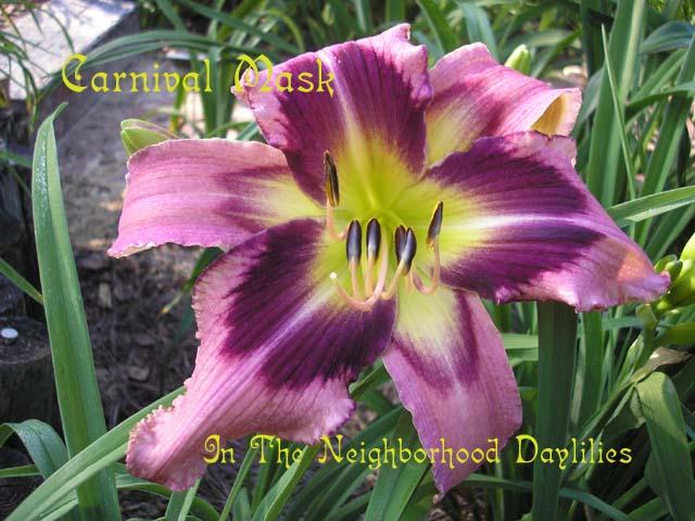 Carnival Mask (Scott, E., 2005)-CLICK PICTURE;Daylily Carnival Mask;Scott Daylily;Peach Lavender Blend w' Dark Purple Eyezone Daylily;Unusual Form Daylily;Fragrant Daylilies;Early Midseason Daylily;Reblooming Daylilies;Tetraploid Daylily;Evergreen Daylily