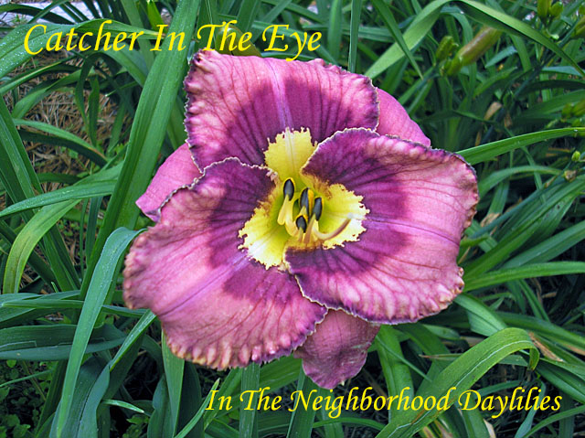 Catcher In The Eye  (Kinnebrew, J.,  2001)-CLICK TO ENLARGE IMAGE,Daylily;Daylilies;Daylily Catcher In The Eye,J.Kinnebrew 2001 Daylily;Award Winning Daylily;Lavender Purple w'Eye,Picotee Purple Edge,Yellow Applique Throat Daylily;Reblooming Daylilies,Perennial