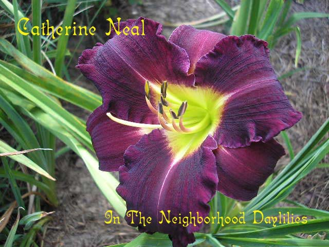 Catherine Neal  (Carpenter, J., 1981)-CLICK PICTURE;Daylily Catherine Neal;Carpenter,J. Daylily;Purple Self w' Very Green Throat Daylily;Award Winning Daylily;Very Late Season Daylily;Reblooming Daylilies;Affordable Daylilies;Diploid Daylily;Dormant Daylily