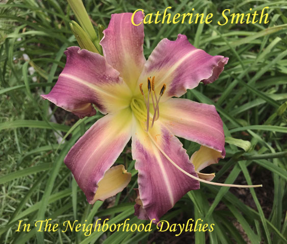 Catherine Smith  (Reed  2008)-Daylily;Daylilies;CLICK PICTURE;Daylily Catherine Smith;Margo Reed Daylily;Large Daylily;Soft Pink w' Creamy Ruffled Edges Daylily;Dormant Daylily;Early to Midseason Bloomer