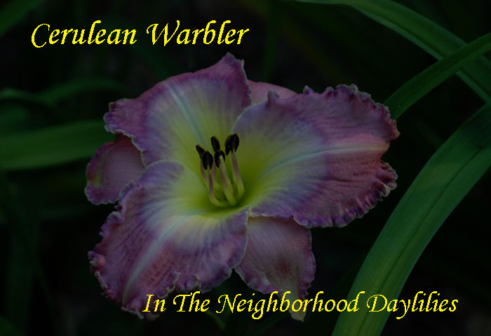 Cerulean Warbler  (Lambertson,  2005)-Daylilies For Sale;Daylily;Day Lily;Daylilies;CLICK IMAGE TO ENLARGE;Daylily Cerulean Warbler;Lambertson 2005 Daylily;Award Winning Daylily;Blue Lavender w'Gray Blue Eye And Edge w'Outer Silver Edge Above Green Throat Daylily;Reblooming Daylilies;Perennial