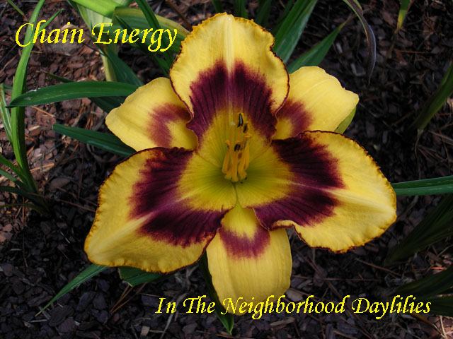 Chain Energy (Gossard  2006)-Daylily;Daylilies;Daylillies;Daylily Chain Energy;Gossard 2006 Daylily;Light Pumpkin Orange w' Shaded Red Eye Above Green Throat Daylily; Reblooming Daylilies;Fragrant Daylilies;Perennial Daylilies