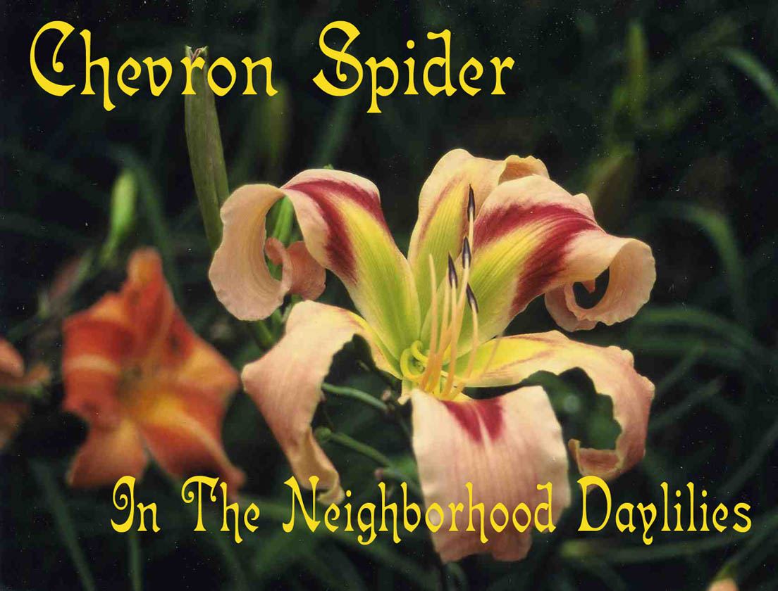 Chevron Spider  (Hansen, 1992)-Daylily;Day Lily;Daylilies;CLICK IMAGE TO; ENLARGE;Chevron Spider Daylily;Hansen 1992 Daylily;Cream Peach w' Burgundy Eye Daylily;Award Winning Daylily;Reblooming Daylilies;Fragrant Daylilies;Spider Variant Daylily