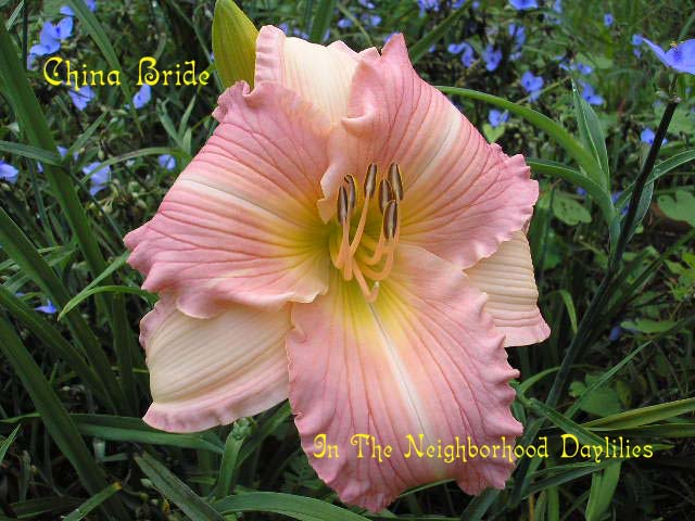China Bride  (Guidry,  1989)-Daylily Day Lily;Daylilies;Daylilies For Sale;CLICK ON IMAGE TO ENLARGE;Daylily China Bride;Guidry 1989 Daylily;Award Winning Daylily;Rose Pink & Cream Pink Bicolor w' Rose Halo & Green Throat Daylily;Reblooming Daylilies;Perennials