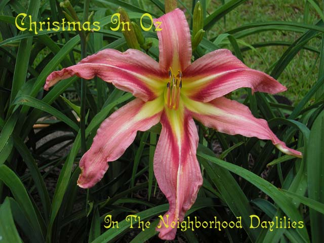 Christmas In Oz  (Herrington, K.  2004)-CLICK PICTURE;Daylily Christmas In Oz;K.Herrington Daylily;Pink w' Red Eye Daylily;Unusual Form Daylily;Daylily Pictures;Perennials;Midseason Daylily;Reblooming Daylilies