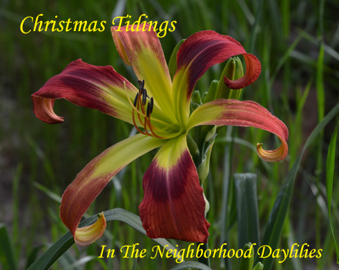 Christmas Tidings  (Stamile,  1999)-Daylily;Day Lily;Daylillies;CLICK ON IMAGE TO ENLARGE;Daylilies For Sale;Daylily Christmas Tidings;1999 Stamile Daylily;Red w' Deep Red Eye Above Green Throat Daylily;Unusual Form Daylily;Reblooming Daylilies;Perennials
