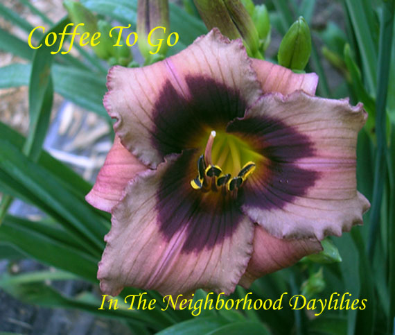 Coffee To Go  (Anderson, H., 2003)-Daylily;Daylilies;Day Lily;CLICK IMAGE TO ENLARGE;Daylily Coffee To Go;H. Anderson Daylily;Brown Mauve w' Darker Midrib & Wine Eye Daylily;Award Winning Daylily;Reblooming Daylilies;Early Blooming Daylily