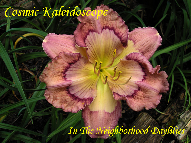 Cosmic Kaleidoscope  (Carpenter, J.,  2006)-Daylilies For Sale;Daylily;Day Lily;Daylilies;CLICK IMAGE TO ENLARGE;Daylily Cosmic Kaleidoscope;Jack Carpenter 2006 Daylily;Multiple Award Winning Daylily;Lavender Self Above Large Light Lavender to Green Throat Daylily;Reblooming Daylilies;Fragrant Daylilies;Perennial