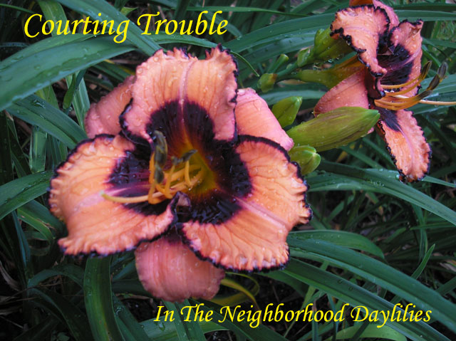 Courting Trouble (Salter, 2002)-CLICK PICTURE;Daylily Courting Trouble;Salter Daylily;Coral Pink w' Black Purple Eye Daylily;Award Winning Daylily;Early to Midseason Daylily;Reblooming Daylilies;Tetraploid Daylily;Semi-evergreen Daylily