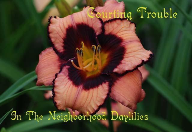 Courting Trouble (Salter, 2002)-CLICK PICTURE;Daylily Courting Trouble;Salter Daylily;Coral Pink w' Black Purple Eye Daylily;Award Winning Daylily;Early to Midseason Daylily;Reblooming Daylilies;Tetraploid Daylily;Semi-evergreen Daylily