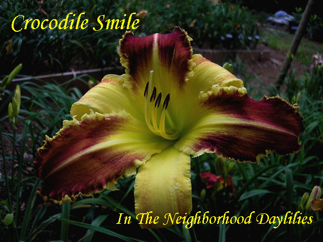 Crocodile Smile  (Trimmer '96)-Daylily;Daylilies;Day Lily DaylilliesCLICK ON IMAGE TO ENLARGE;Crocodile Smile Daylily;Trimmer 1996 Daylily;Extra Large Blooming Daylily;Bicolor Daylily;Mulberry w' Ivory Bicolor Daylily;Tetraploid Daylily