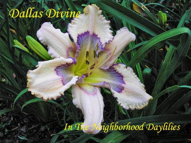 Dallas Divine  (Hansen, D.,  2014)-Daylily;Daylillies;Daylilies;CLICK ON IMAGE TO ENLARGE;Dallas Divine Daylily;D.Hansen 2014 Daylily;Near White w' Complex Blue Eye Daylily;Reblooming Daylilies;Daylilies For Sale;Perennial