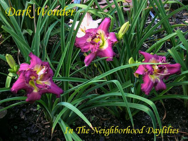 Dark Wonder (Stamile, 2000)-CLICK PICTURE;Daylily Dark Wonder;Stamile Daylily;Royal Purple w' Silver Watermark Daylily;Double Daylily;Fragrant Daylilies;Midseason Daylily;Reblooming Daylilies;Tetraploid Daylily;Evergreen Daylily