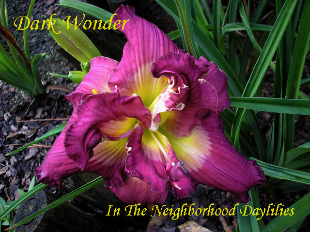 Dark Wonder (Stamile, 2000)-CLICK PICTURE;Daylily Dark Wonder;Stamile Daylily;Royal Purple w' Silver Watermark Daylily;Double Daylily;Fragrant Daylilies;Midseason Daylily;Reblooming Daylilies;Tetraploid Daylily;Evergreen Daylily