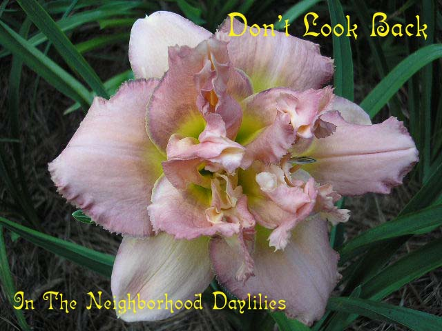 Don't Look Back  (Kirchhoff, D., 1998)-CLICK PICTURE;Daylily Don't Look Back;Kirchhoff,D. Daylily;Orchid Lavender Pink w' Plum Watermark & Edge Daylily;Double Daylily;Early To Midseason Daylily;Reblooming Daylilies;Extended Blooming Time Daylilies;Tetraploid Daylily;Evergreen Daylily