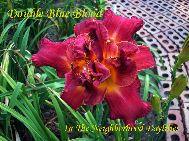 Double Blue Blood  (George, T., 2005)-CLICK PICTURE;Daylily Double Blue Blood;T.George Daylily;Blue Blood Red Self Daylily;Double Daylily;Early to Midseason Daylily;Reblooming Daylilies;Tetraploid Daylily;Semi-evergreen Daylily