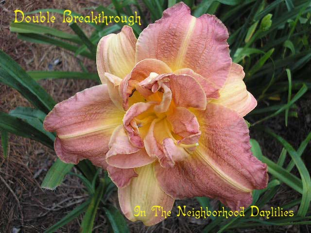 Double Breakthrough  (Brown, B., 1978)-Daylily;Day Lily;Daylilies;CLICK IMAGE TO ENLARGE;Daylily Double Breakthrough;B.Brown 1978 Daylily;Rose Bitone Daylily;Double Daylily;Award Winning Daylily; Fragrant Daylily;Early Season Daylily;Reblooming Daylilies;Diploid Daylily;Evergreen Daylily